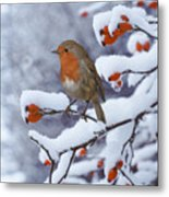 Robin On Snow-covered Rose Hips Metal Print