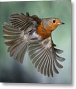 Robin On The Wing Metal Print