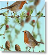 Robins On Larch Metal Print