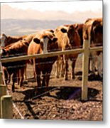 Rockies Cattle Country Metal Print