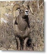 Rocky Mountain Big Horn Sheep Metal Print