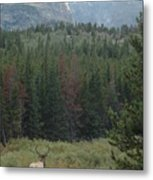 Rocky Mountain Elk Metal Print