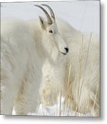 Rocky Mountain Goats In Wyoming Winter Metal Print