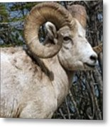 Rocky Mountain Ram Metal Print