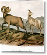 Rocky Mountain Sheep, 1846 Metal Print