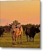 Rodeo Bulls At Dawn Metal Print by Gus McCrea