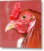 Rooster Close-up On A Reddish Background Metal Print