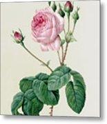 Rosa Centifolia Bullata Metal Print