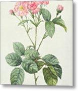 Rosa Centifolia Caryophyllea Metal Print
