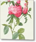 Rosa Centifolia Prolifera Foliacea Metal Print