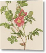 Rosa Cinnamomea The Cinnamon Rose Metal Print