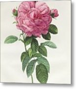 Rosa Gallica Flore Giganteo Metal Print