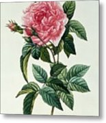 Rosa Gallica Regalis Metal Print