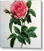 Rosa Gallica Regallis Metal Print