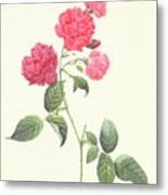 Rosa Indica Caryophyllea Metal Print by Pierre Joseph Redoute