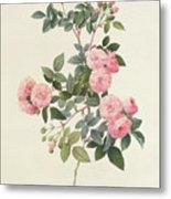 Rosa Multiflora Carnea Metal Print