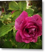 Rosa Rugosa Art Photo Metal Print