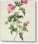 Rosa Sepium Flore Submultiplici Metal Print by Pierre Joseph Redoute