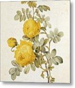 Rosa Sulfurea Metal Print