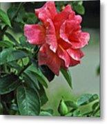 Rose 7898 Metal Print