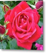 Rose And Buds - Double Knock Out Rose Metal Print