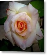 Rose Blushing After Rain Metal Print