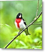 Rose-breasted Grosbeak 2 Metal Print