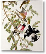 Rose Breasted Grosbeak Metal Print by John James Audubon