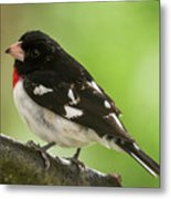 Rose-breasted Grosbeak Male Perched New Jersey  Metal Print