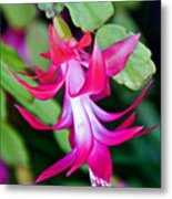 Rose-colored Christmas Cactus At Pilgrim Place In Claremont-california  Metal Print