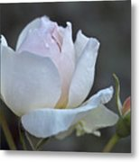 Rose Flower Series 14 Metal Print