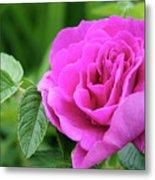 Rose In The Afternoon Metal Print