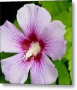 Rose Of Sharon Close Up Metal Print