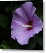 Rose Of Sharon - Hibiscus Syriacus Metal Print