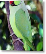 Rose-ringed Parakeet Metal Print