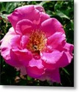 Rose To Bee Metal Print