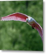 Roseate Spoonbill In Flight 2 Metal Print
