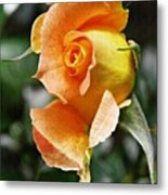 Rosebud Opening Metal Print