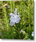 Rosemary Bloom Metal Print