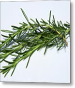 Rosemary Isolated On White Metal Print