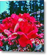 Roses At Mont Alto Metal Print
