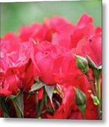 Roses Close Up Nature Spring Scene Metal Print
