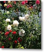 Roses In Red And White Metal Print