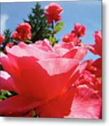 Roses Pink Rose Landscape Summer Blue Sky Art Prints Baslee Troutman Metal Print