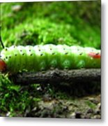 Rosy Maple Moth Caterpillar Metal Print