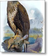 Rough Legged Buzzard Hawk Antique Bird Print The Birds Of Great Britain Metal Print