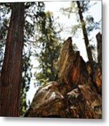 Round Meadow Giant Sequoia Metal Print