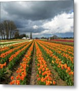 Rows Of Colorful Tulips At Festival Metal Print