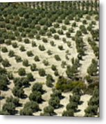 Rows Of Olive Trees Growing In The Village Of Baena Metal Print