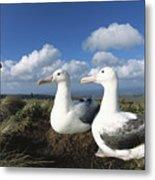 Royal Albatrosses Nesting Metal Print